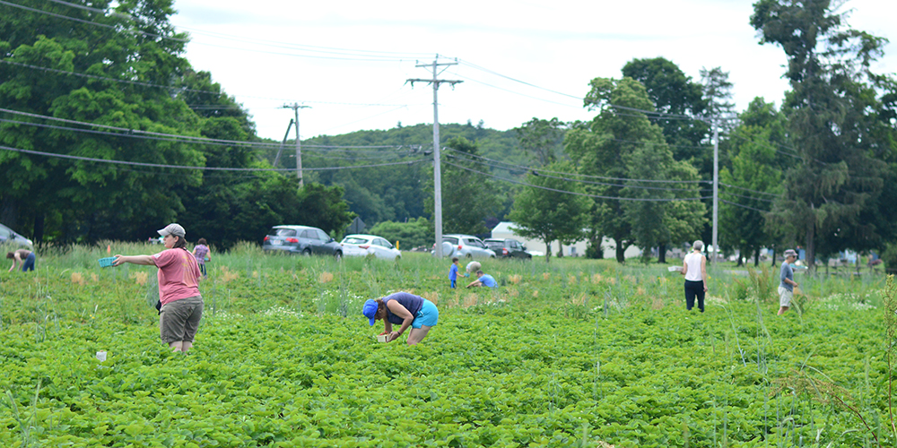 strawberry picking in Hadley, MA